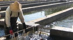 دانلود مقاله پرورش ماهی قزل آلا